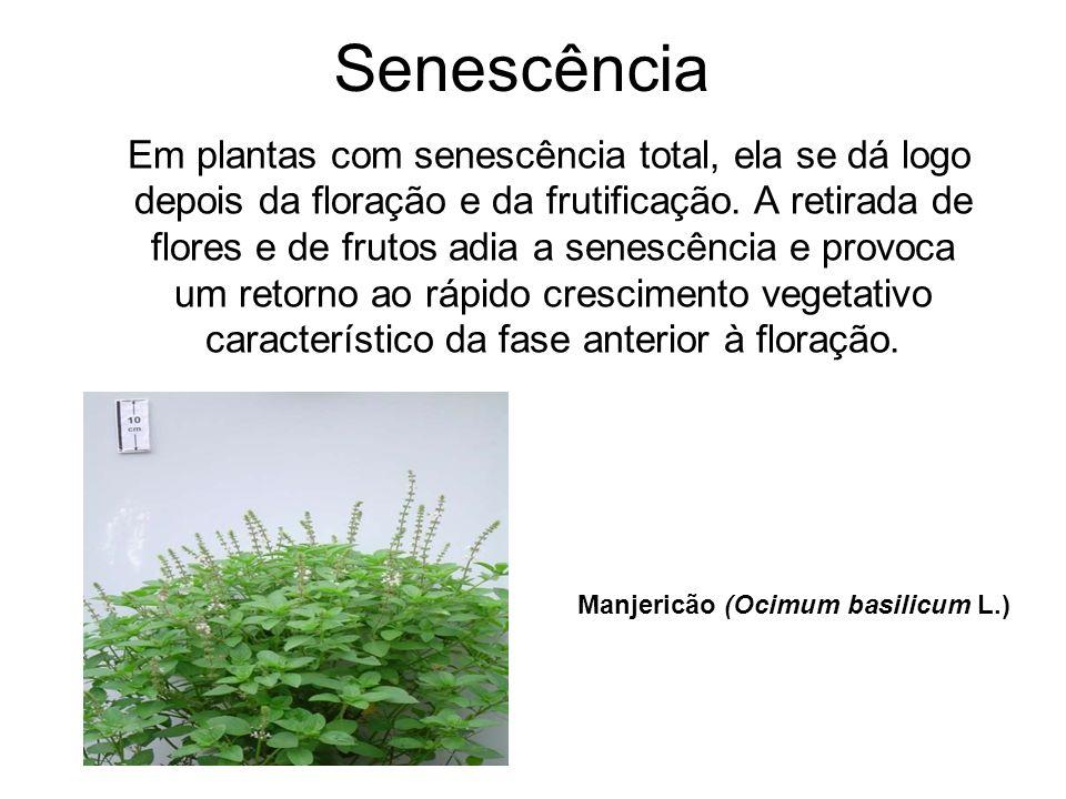 Senescência Em plantas com senescência total, ela se dá logo depois da floração e da frutificação. A retirada de flores e de frutos adia a senescência