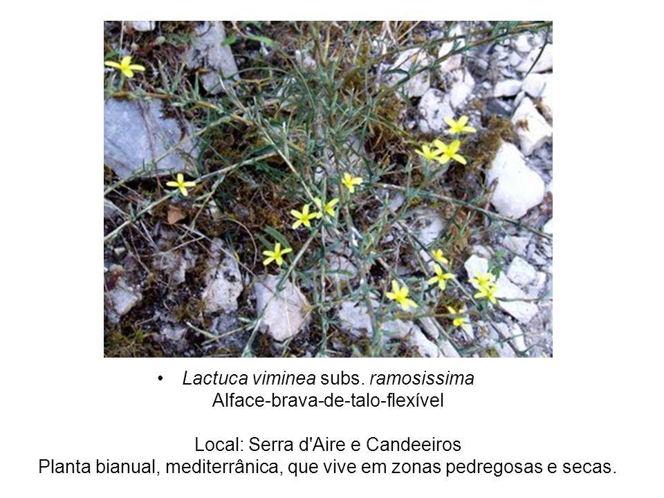 Lactuca viminea subs. ramosissima Alface-brava-de-talo-flexível Local: Serra d'Aire e Candeeiros Planta bianual, mediterrânica, que vive em zonas pedr