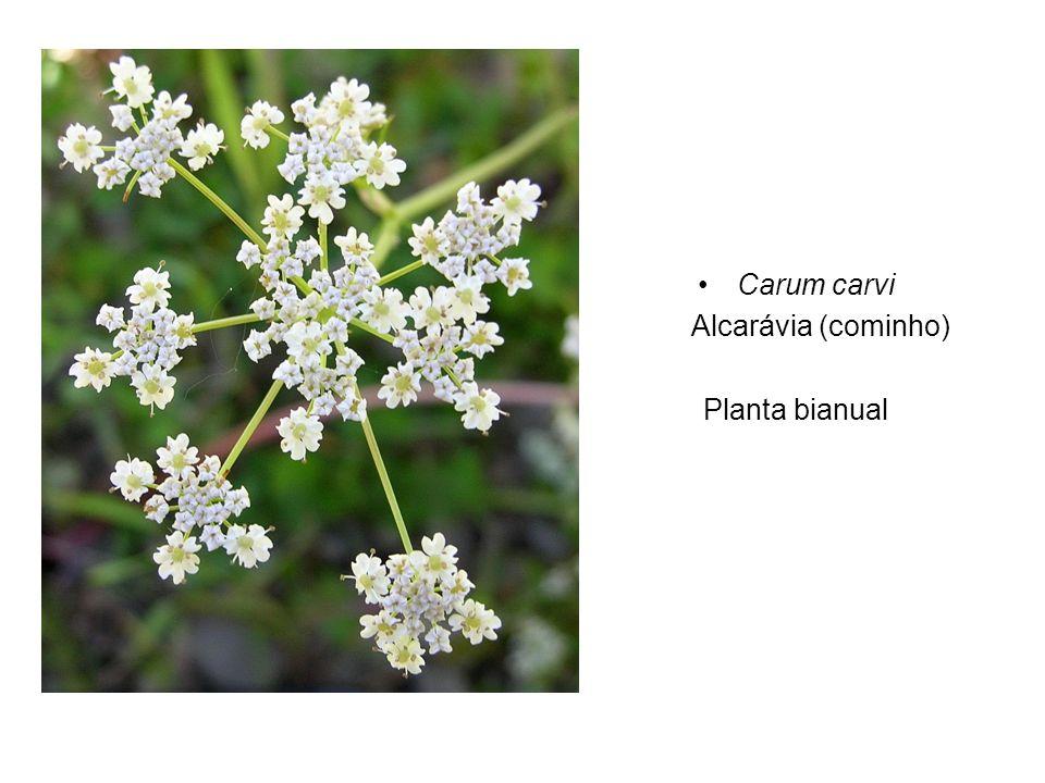Carum carvi Alcarávia (cominho) Planta bianual