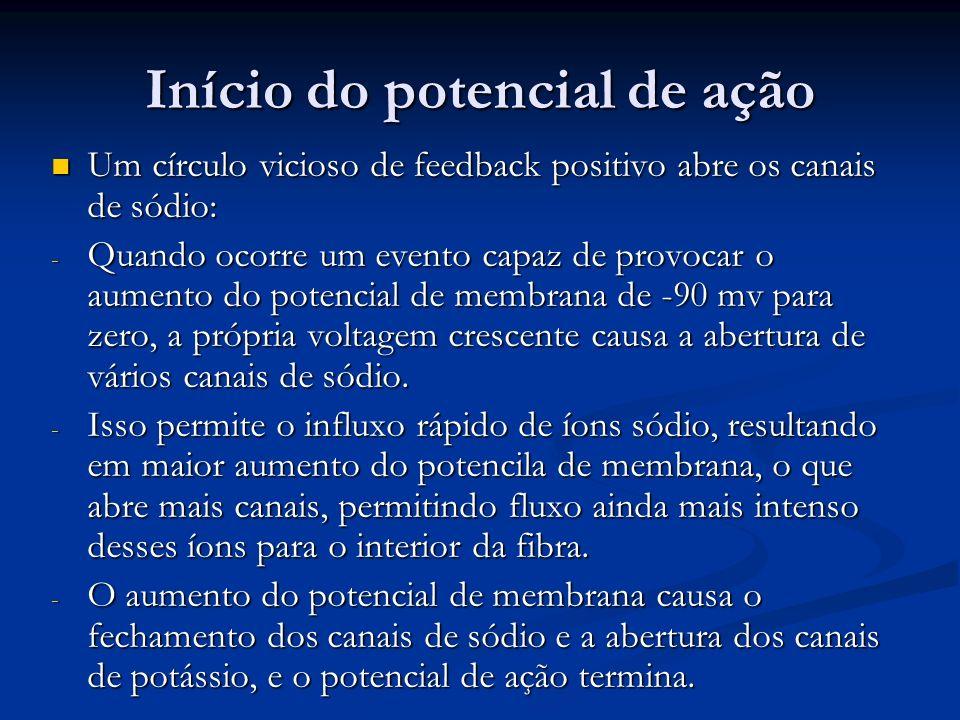 Início do potencial de ação Um círculo vicioso de feedback positivo abre os canais de sódio: Um círculo vicioso de feedback positivo abre os canais de