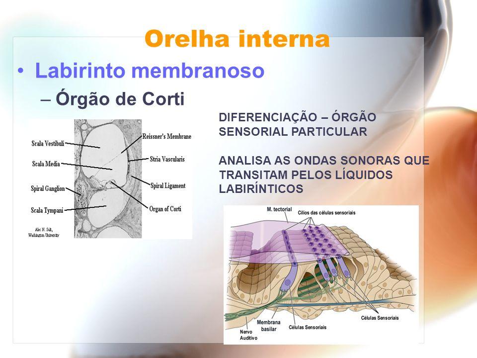Orelha interna Labirinto membranoso –Órgão de Corti DIFERENCIAÇÃO – ÓRGÃO SENSORIAL PARTICULAR ANALISA AS ONDAS SONORAS QUE TRANSITAM PELOS LÍQUIDOS L