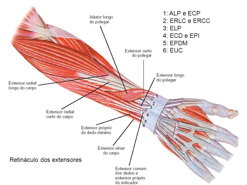 Retináculo dos extensores 1: ALP e ECP 2: ERLC e ERCC 3: ELP 4: ECD e EPI 5: EPDM 6: EUC