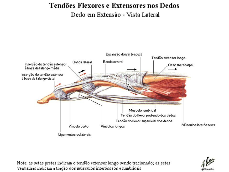 Atractivo Dedo Ligamentos Anatomía Galería - Imágenes de Anatomía ...