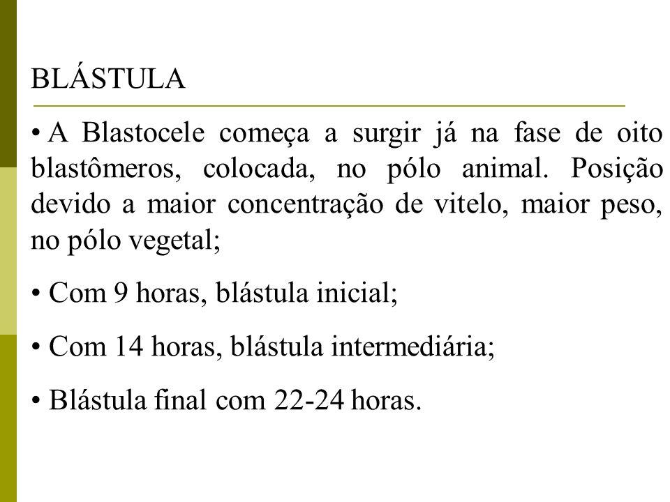 BLÁSTULA A Blastocele começa a surgir já na fase de oito blastômeros, colocada, no pólo animal. Posição devido a maior concentração de vitelo, maior p
