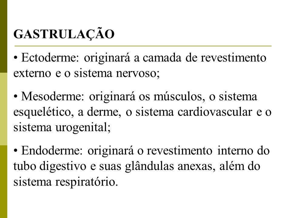 GASTRULAÇÃO Ectoderme: originará a camada de revestimento externo e o sistema nervoso; Mesoderme: originará os músculos, o sistema esquelético, a derm