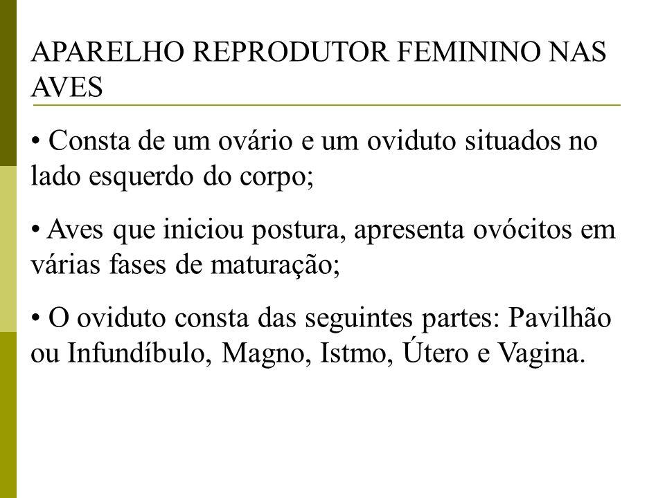 APARELHO REPRODUTOR FEMININO NAS AVES Consta de um ovário e um oviduto situados no lado esquerdo do corpo; Aves que iniciou postura, apresenta ovócito