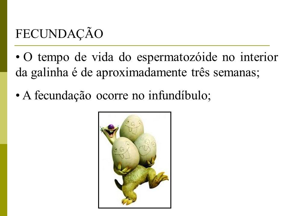 FECUNDAÇÃO O tempo de vida do espermatozóide no interior da galinha é de aproximadamente três semanas; A fecundação ocorre no infundíbulo;