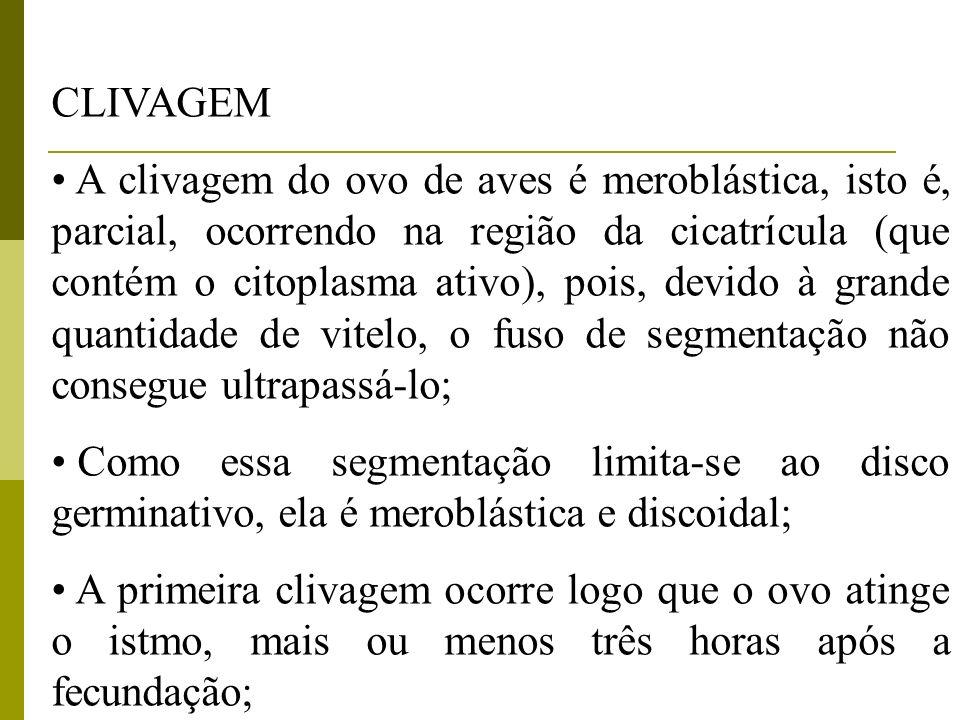CLIVAGEM A clivagem do ovo de aves é meroblástica, isto é, parcial, ocorrendo na região da cicatrícula (que contém o citoplasma ativo), pois, devido à