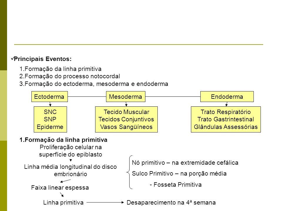 Principais Eventos: 1.Formação da linha primitiva 2.Formação do processo notocordal 3.Formação do ectoderma, mesoderma e endoderma Endoderma SNC SNP E