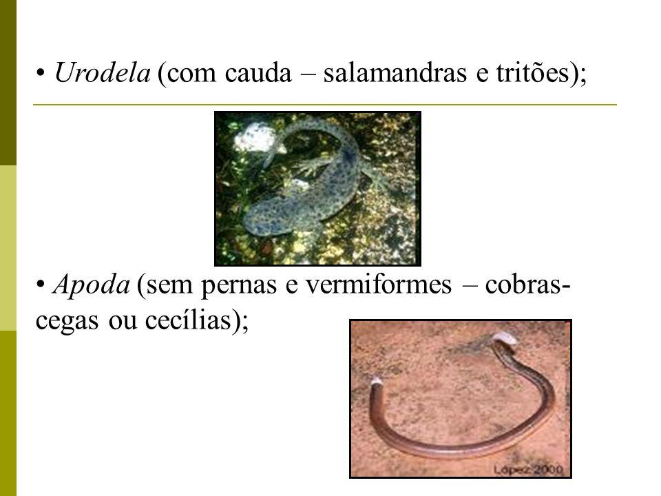 Urodela (com cauda – salamandras e tritões); Apoda (sem pernas e vermiformes – cobras- cegas ou cecílias);