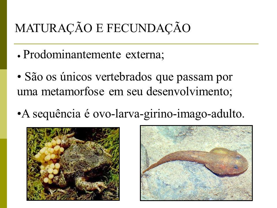 MATURAÇÃO E FECUNDAÇÃO Prodominantemente externa; São os únicos vertebrados que passam por uma metamorfose em seu desenvolvimento; A sequência é ovo-l