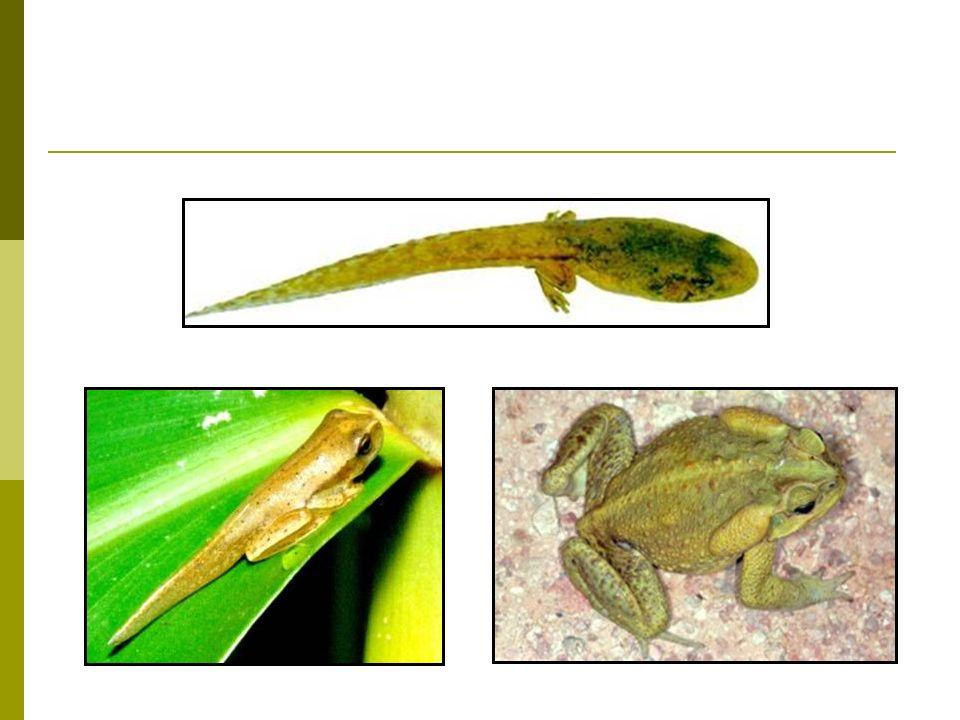 O ovócito apresenta dois pólos, o dorsal (pólo animal) e o ventral (pólo vegetal); O espermatozóide 1º membrana gelatinosa, 2º membrana plasmática; Fecundação - Sequência de eventos moleculares coordenados que se inicia com o contato do espermatozóide e um ovócito e termina com a mistura dos cromossomos; Após a penetração da cabeça do espermatozóide o mesmo perde a cauda;