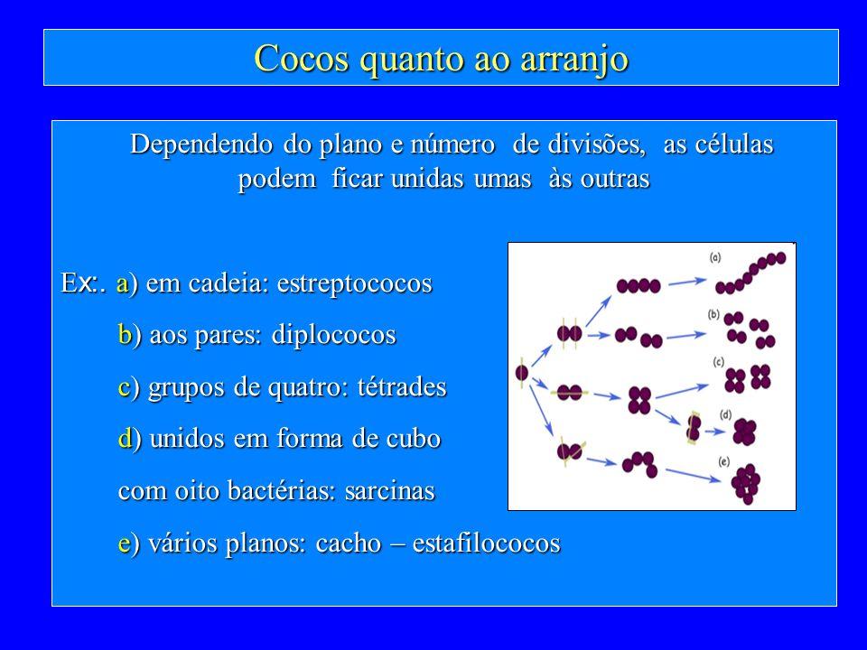 Cocos quanto ao arranjo Dependendo do plano e número de divisões, as células podem ficar unidas umas às outras E x:. a) em cadeia: estreptococos b) ao