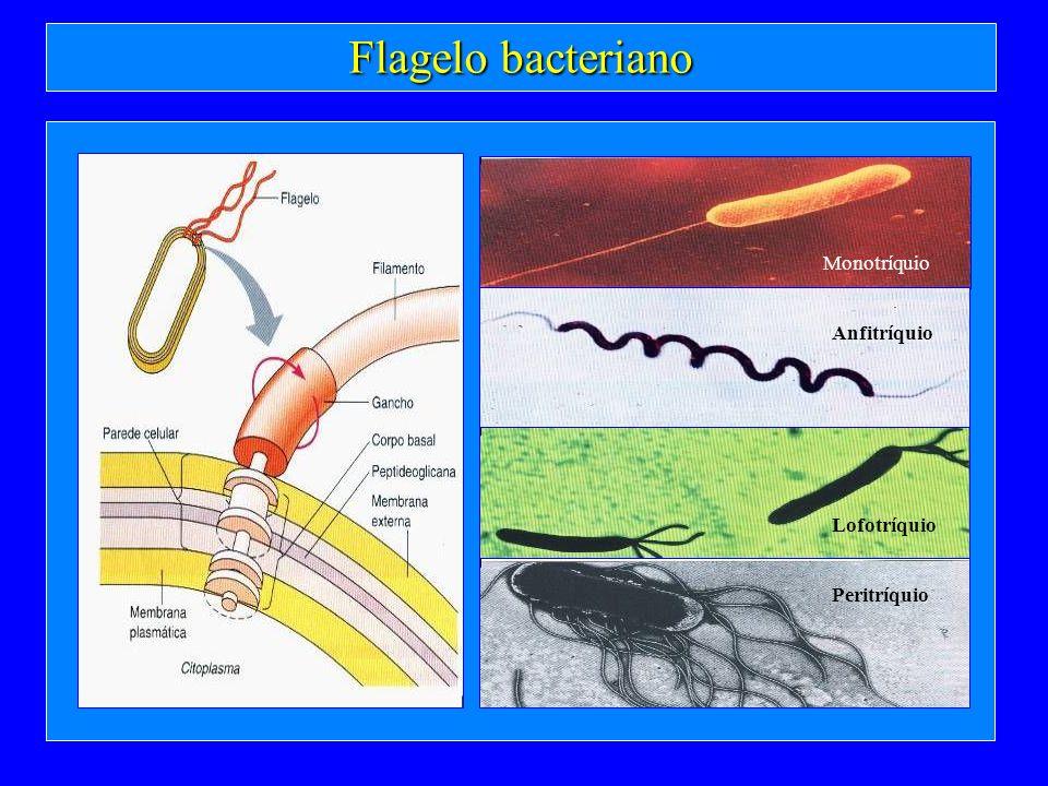 Flagelo bacteriano Monotríquio Anfitríquio Lofotríquio Peritríquio