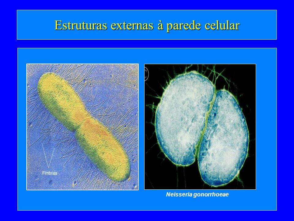 Estruturas externas à parede celular Neisseria gonorrhoeae
