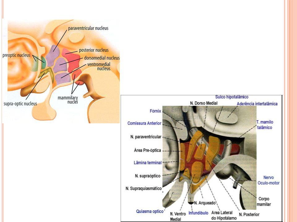 FUNÇÕES: HOMEOSTASIA Como possui funções humorais e neurais, o hipotálamo controla e coordena as funções viscerais através do SNA e do sistema endócrino.