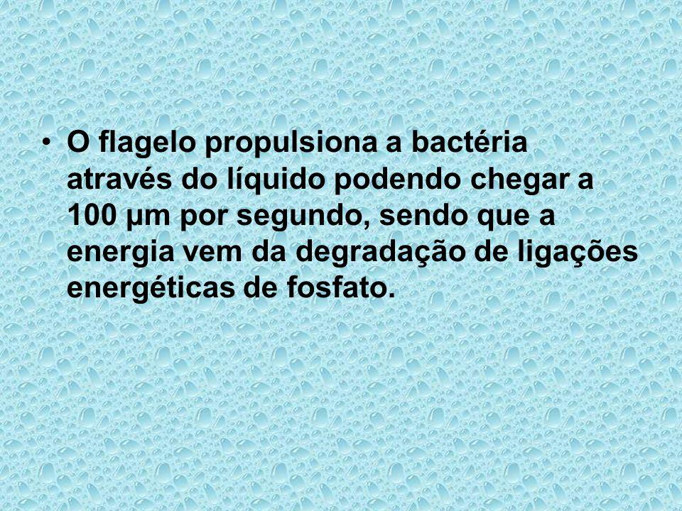 O flagelo propulsiona a bactéria através do líquido podendo chegar a 100 μm por segundo, sendo que a energia vem da degradação de ligações energéticas