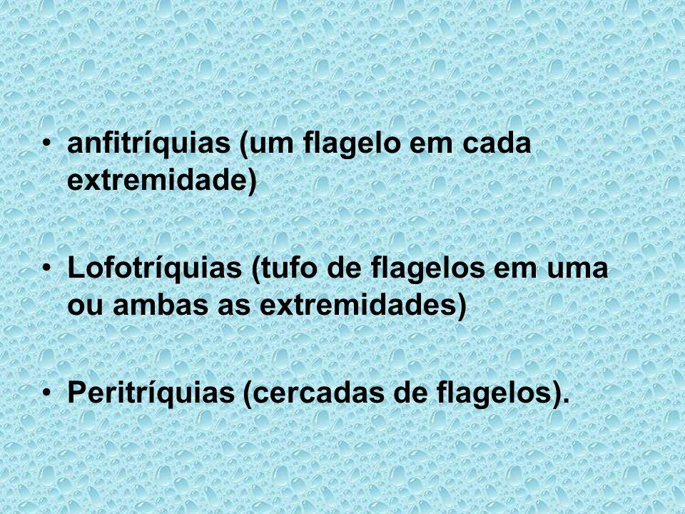 anfitríquias (um flagelo em cada extremidade) Lofotríquias (tufo de flagelos em uma ou ambas as extremidades) Peritríquias (cercadas de flagelos).