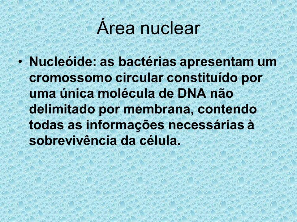 Área nuclear Nucleóide: as bactérias apresentam um cromossomo circular constituído por uma única molécula de DNA não delimitado por membrana, contendo