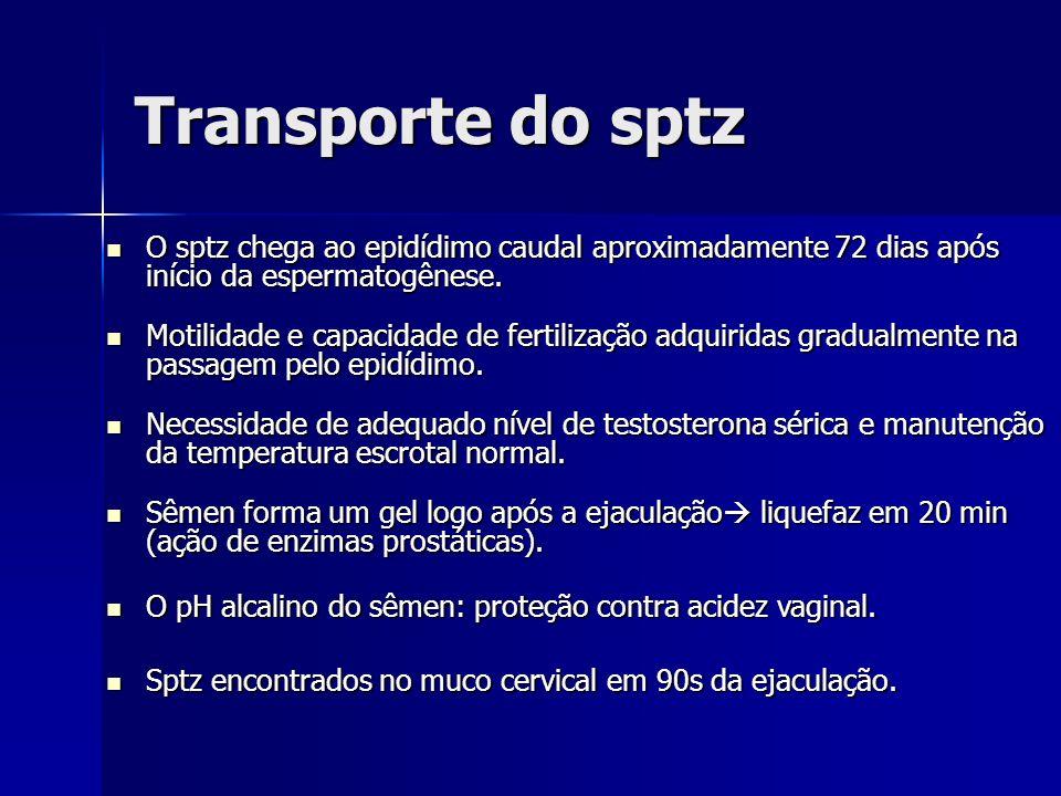Transporte do sptz O sptz chega ao epidídimo caudal aproximadamente 72 dias após início da espermatogênese.