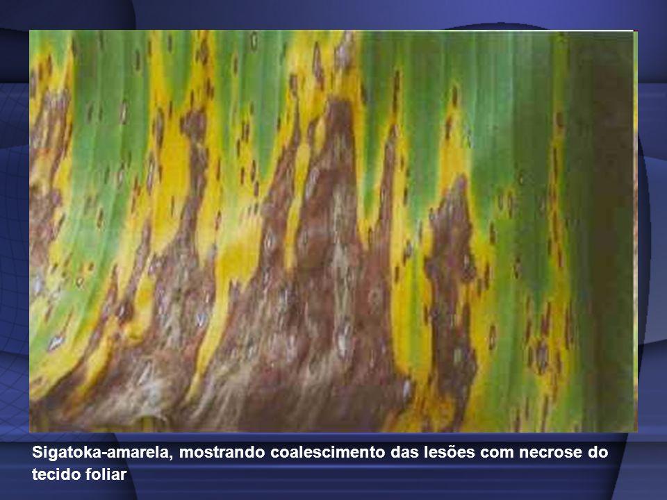 Sigatoka-amarela, mostrando coalescimento das lesões com necrose do tecido foliar
