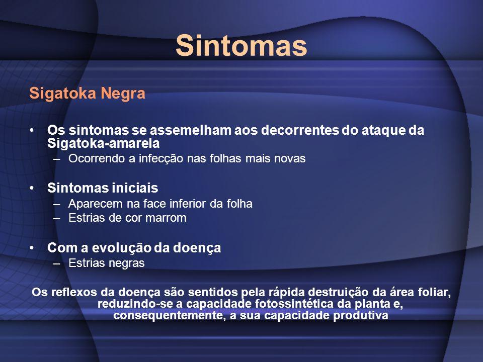 Sintomas Sigatoka Negra Os sintomas se assemelham aos decorrentes do ataque da Sigatoka-amarela –Ocorrendo a infecção nas folhas mais novas Sintomas i