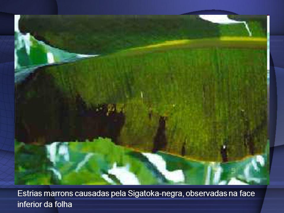 Estrias marrons causadas pela Sigatoka-negra, observadas na face inferior da folha