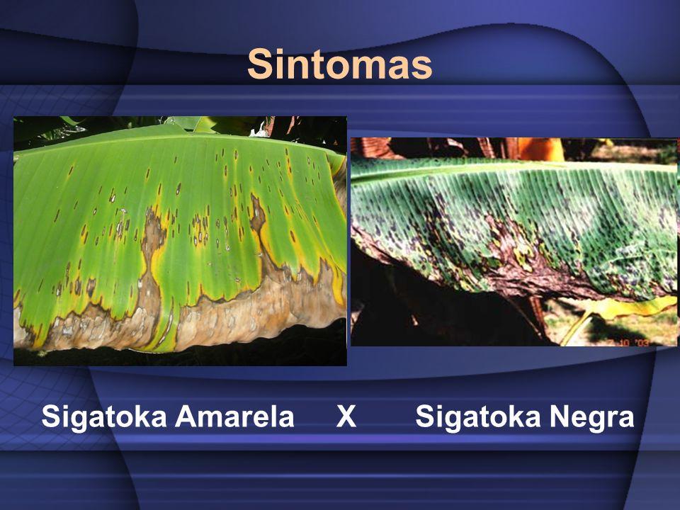 Sintomas Sigatoka Amarela X Sigatoka Negra