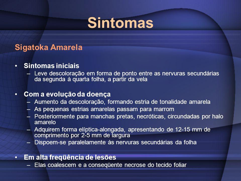 Sintomas Sigatoka Amarela Sintomas iniciais –Leve descoloração em forma de ponto entre as nervuras secundárias da segunda à quarta folha, a partir da