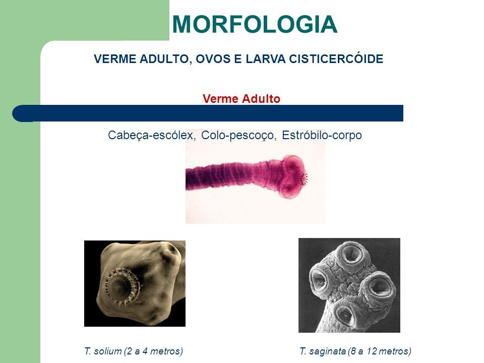 MORFOLOGIA VERME ADULTO, OVOS E LARVA CISTICERCÓIDE T. solium (2 a 4 metros)T. saginata (8 a 12 metros) Cabeça-escólex, Colo-pescoço, Estróbilo-corpo