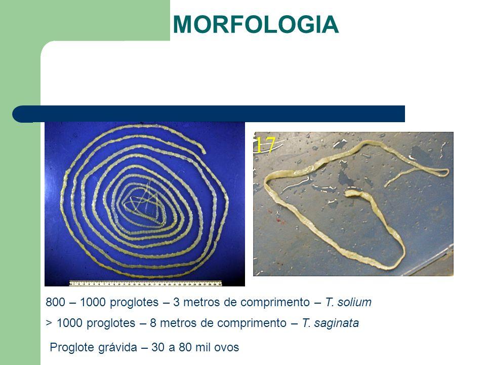 800 – 1000 proglotes – 3 metros de comprimento – T. solium > 1000 proglotes – 8 metros de comprimento – T. saginata Proglote grávida – 30 a 80 mil ovo