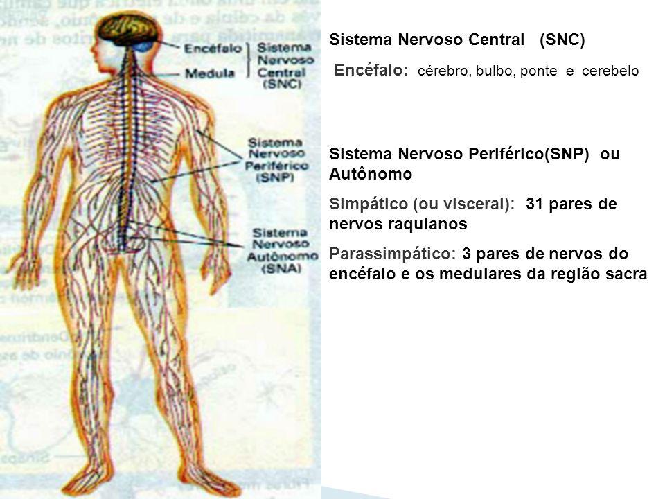 Sistema Nervoso Central (SNC) Encéfalo: cérebro, bulbo, ponte e cerebelo Sistema Nervoso Periférico(SNP) ou Autônomo Simpático (ou visceral): 31 pares