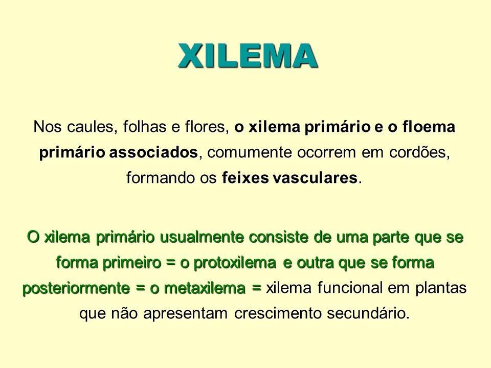 XILEMA Nos caules, folhas e flores, o xilema primário e o floema primário associados, comumente ocorrem em cordões, formando os feixes vasculares. O x