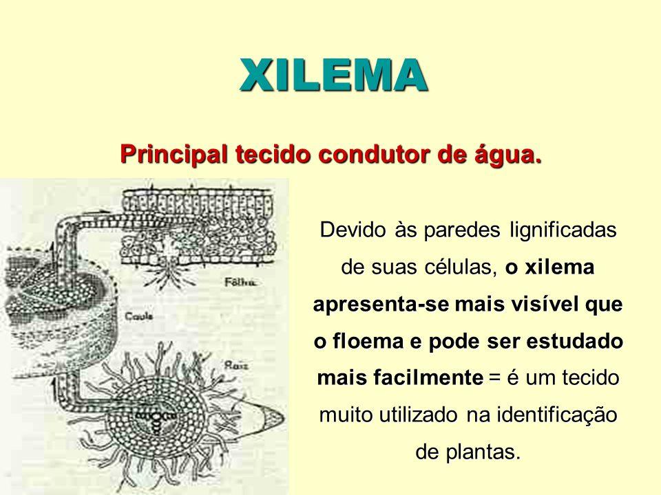 XILEMA O xilema é estruturalmente complexo por constituir-se de diferentes tipos de células vivas e mortas = os elementos traqueais, que conduzem água e solventes orgânicos e inorgânicos e os elementos de sustentação (as fibras), que são células lignificadas e mortas e células parenquimáticas vivas = alguns dos elementos traqueais combinam as funções de condução com as de sustentação.