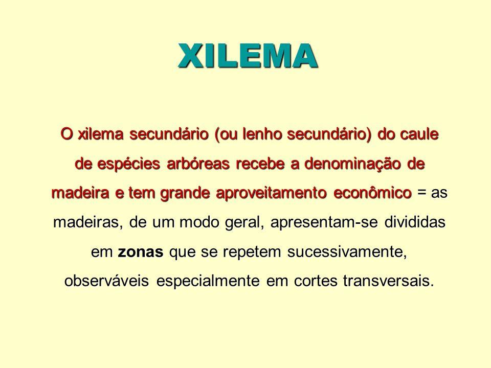 XILEMA O xilema secundário (ou lenho secundário) do caule de espécies arbóreas recebe a denominação de madeira e tem grande aproveitamento econômico =