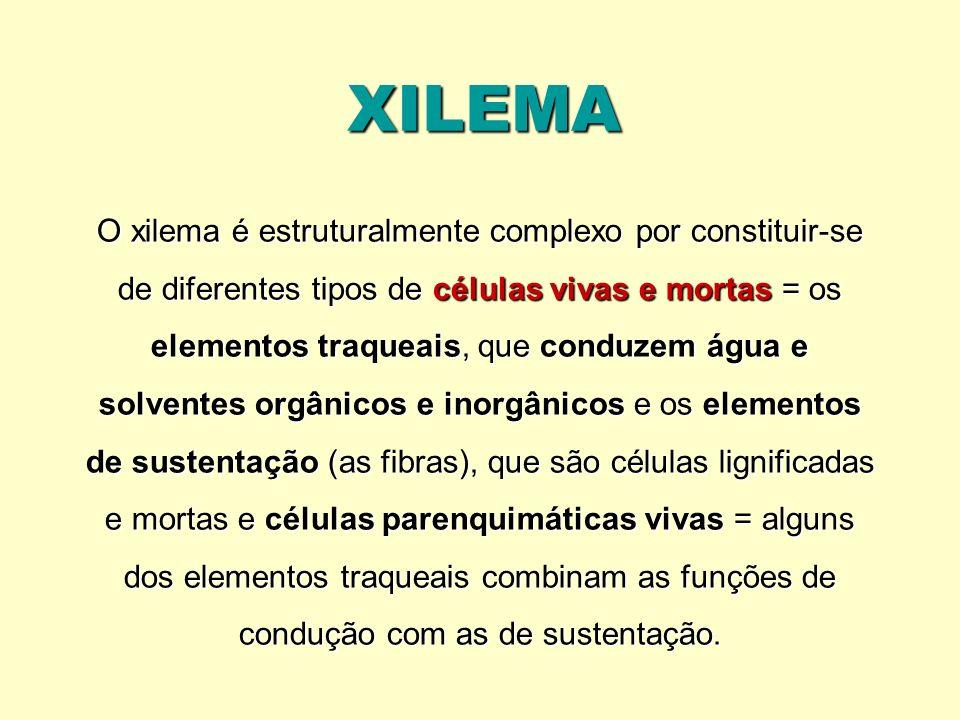 XILEMA O xilema é estruturalmente complexo por constituir-se de diferentes tipos de células vivas e mortas = os elementos traqueais, que conduzem água