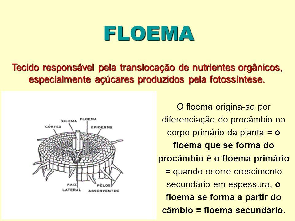 FLOEMA Tecido responsável pela translocação de nutrientes orgânicos, especialmente açúcares produzidos pela fotossíntese. O floema origina-se por dife