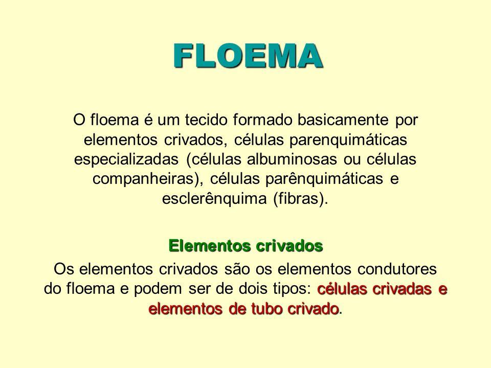 FLOEMA O floema é um tecido formado basicamente por elementos crivados, células parenquimáticas especializadas (células albuminosas ou células companh