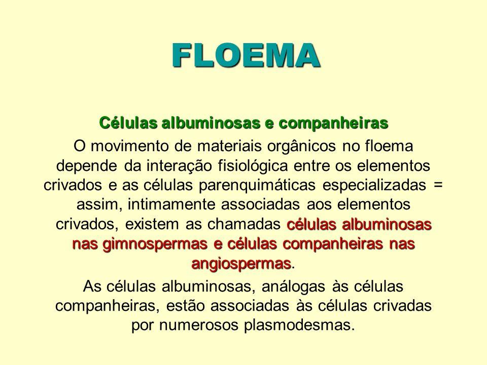 FLOEMA Células albuminosas e companheiras células albuminosas nas gimnospermas e células companheiras nas angiospermas O movimento de materiais orgâni