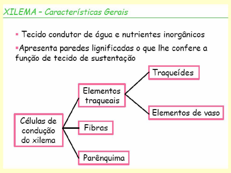 XILEMA b) Elementos de vaso = são células perfuradas, isto é, células cujas comunicações com outras células da mesma série longitudinal, que constituem o vaso, se faz através de regiões desprovidas de paredes primárias e secundárias = a perfuração dos elementos de vaso comumente ocorre nas paredes terminais, mas pode estar presente também nas paredes laterais = a parede que contêm uma perfuração é chamada placa perfurada (ou placa de perfuração).
