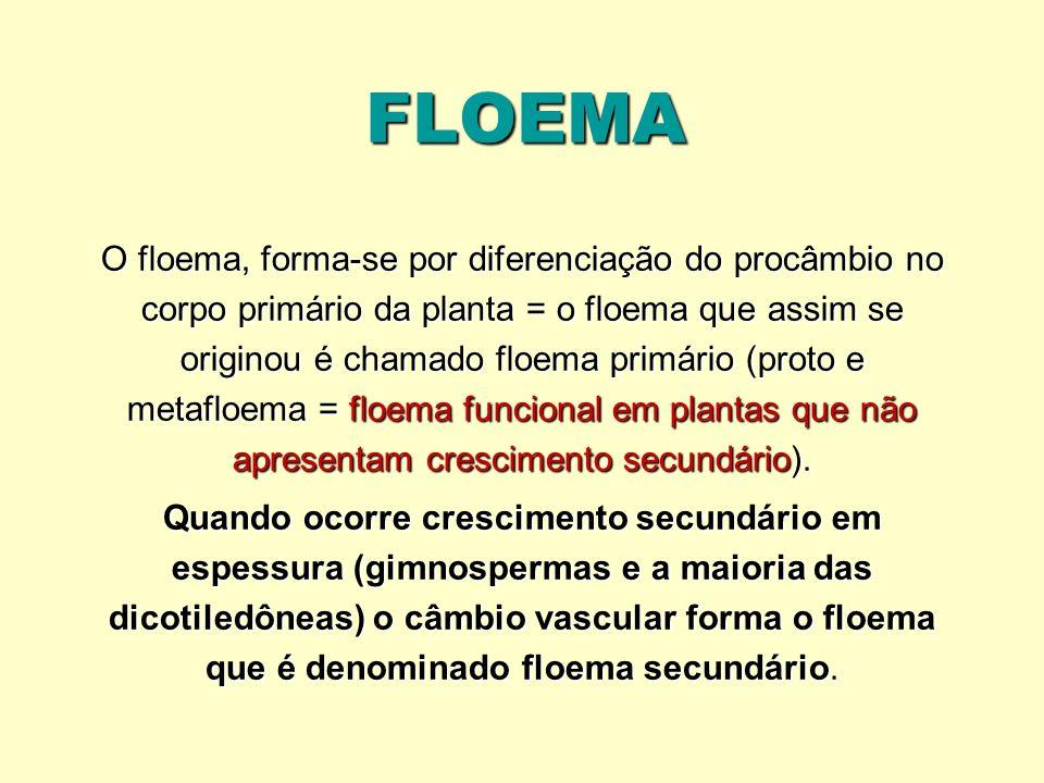 FLOEMA O floema, forma-se por diferenciação do procâmbio no corpo primário da planta = o floema que assim se originou é chamado floema primário (proto