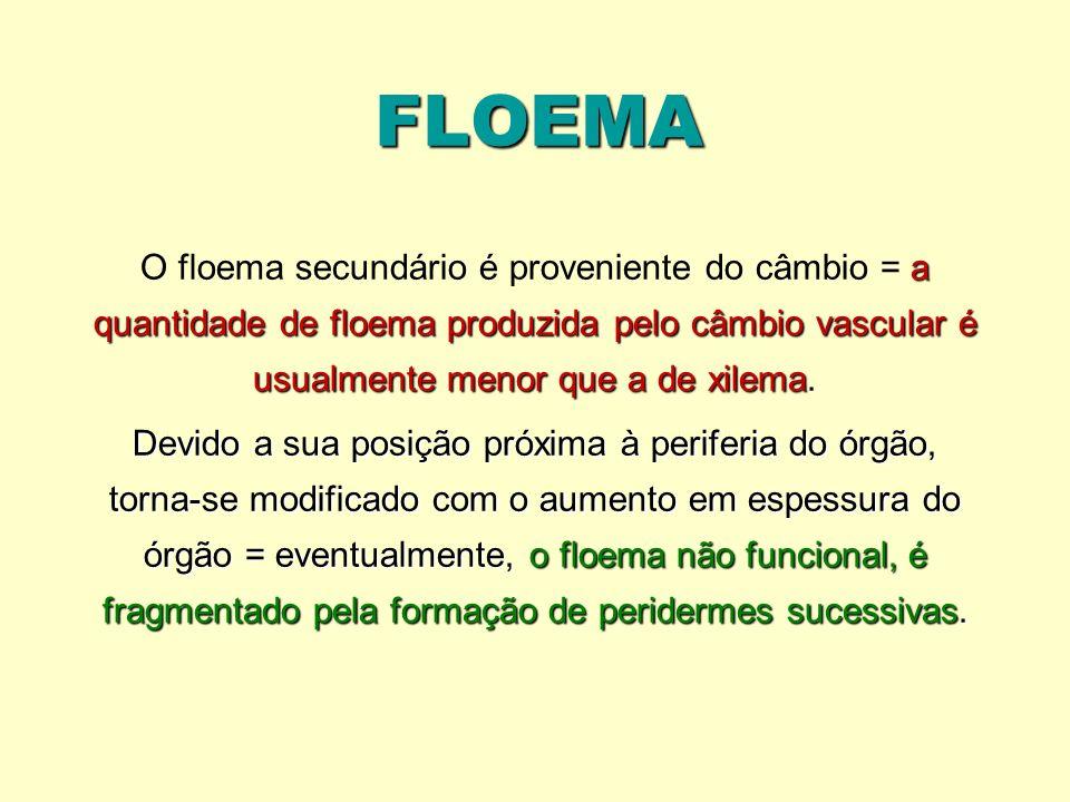 FLOEMA a quantidade de floema produzida pelo câmbio vascular é usualmente menor que a de xilema O floema secundário é proveniente do câmbio = a quanti
