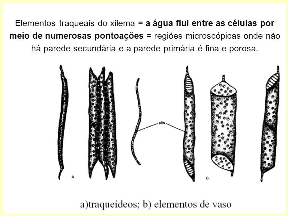 Elementos traqueais do xilema = a água flui entre as células por meio de numerosas pontoações = regiões microscópicas onde não há parede secundária e