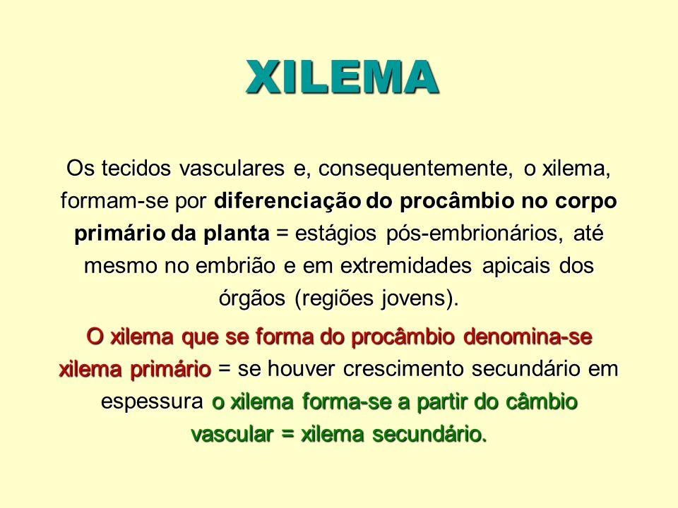 XILEMA Os tecidos vasculares e, consequentemente, o xilema, formam-se por diferenciação do procâmbio no corpo primário da planta = estágios pós-embrio