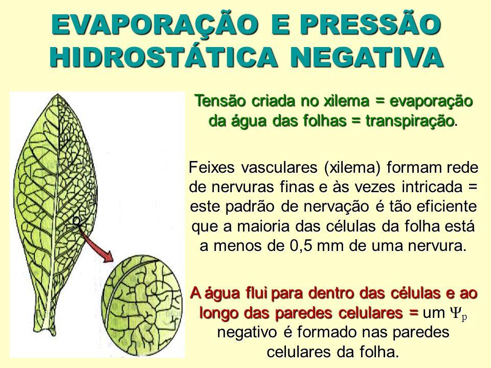 EVAPORAÇÃO E PRESSÃO HIDROSTÁTICA NEGATIVA Tensão criada no xilema = evaporação da água das folhas = transpiração. Feixes vasculares (xilema) formam r