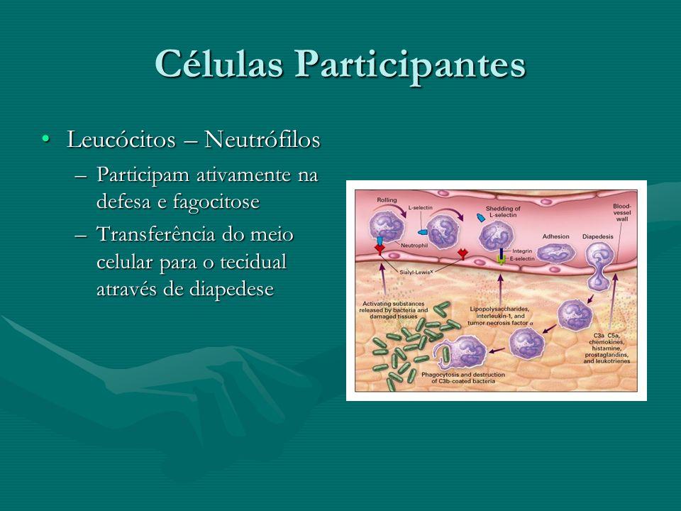 Células Participantes Leucócitos – NeutrófilosLeucócitos – Neutrófilos –Participam ativamente na defesa e fagocitose –Transferência do meio celular pa