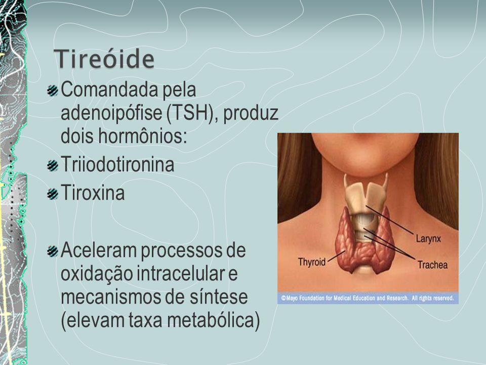 Comandada pela adenoipófise (TSH), produz dois hormônios: Triiodotironina Tiroxina Aceleram processos de oxidação intracelular e mecanismos de síntese