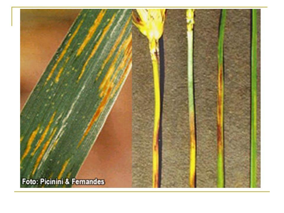 Sintomas Sob clima úmido é produzido pus bacteriano nos tecidos infectados Pequenas gotas de cor branca leitosa e/ou amarelas Pela quantidade de umidade podem juntar-se e formar gutação leitosa Exsudações solidificam ao secar à superfície Mostram-se de cor parda-avermelhada passando para o marrom-pardo
