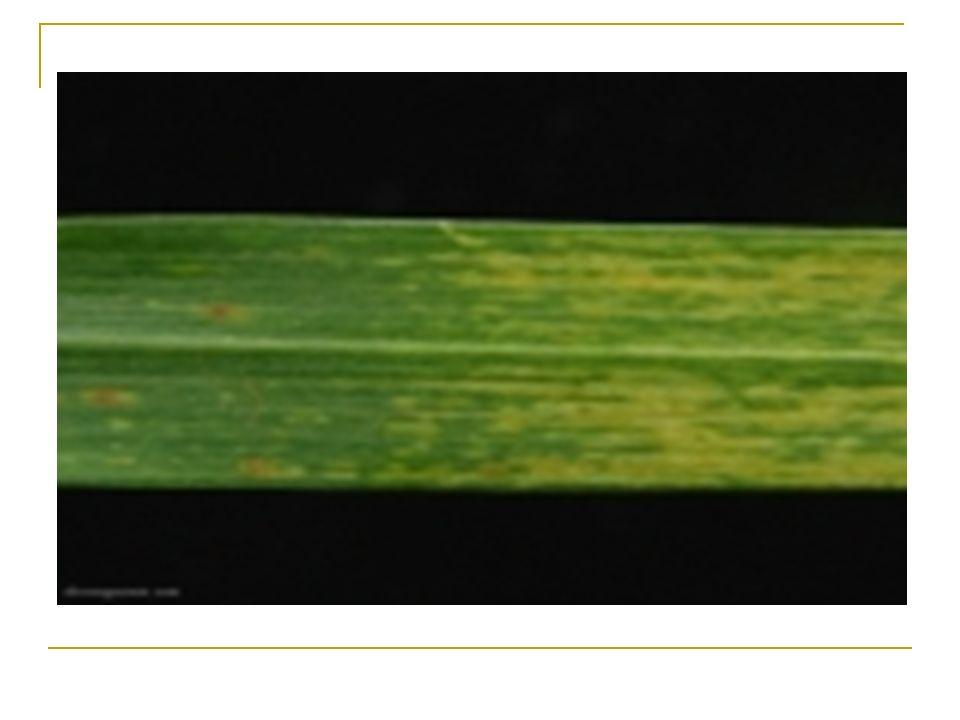 Controle Eliminação do inóculo das sementes e sua redução nos restos culturais Erradicação da bactéria de sementes por termoterapia 70-80°C durante 7-14 dias Apesar deste método ser eficiente, seu emprego restringe-se a pequenas quantidades de sementes Rotação de culturas tem sido recomendada como medida complementar para eliminar a bactéria dos restos culturas infectados Pouco progresso tem sido obtido no desenvolvimento de cultivares de trigo resistentes à doença No Brasil, ainda não existem bactericidas indicados para cereais de inverno