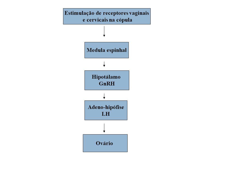 Estimulação de receptores vaginais e cervicais na cópula Medula espinhal Hipotálamo GnRH Adeno-hipófise LH Ovário